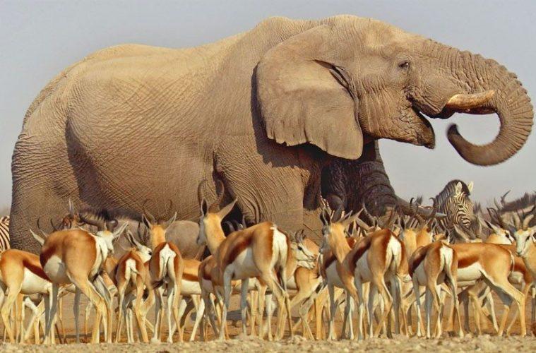 elephant-antelope_2438035k