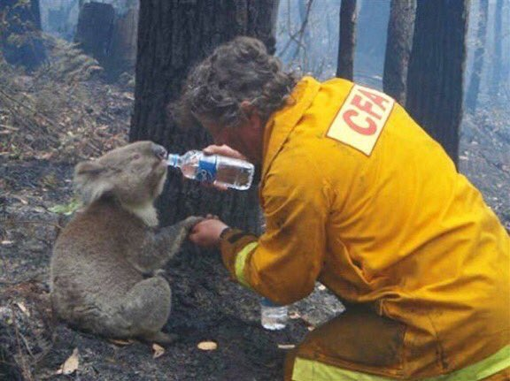 koala australia fire