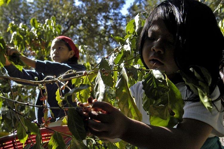παιδική εργασία Nespresso Starbucks Γουατεμάλα