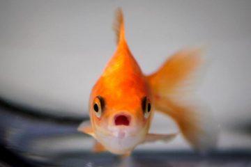 ψάρι σε ενυδρείο